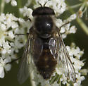 Male Horse fly - Stonemyia - male