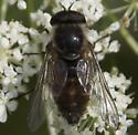 Male Horse fly - Stonemyia rasa - male