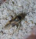 Dark black, white, and green plant bug - Orthotylus - male