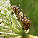 Caterpillar on wild carrot  - Papilio polyxenes