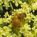honeybee-like - Apis mellifera - female