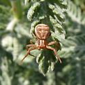 crab spider - Xysticus cristatus
