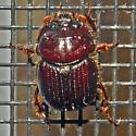 Beetle 07.23.2010 016 - Eucanthus lazarus
