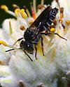Another Coelioxys - Coelioxys - male