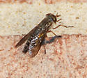 Fly on Brick Wall, hunting moths?