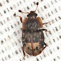 Sap-feeding Beetle - Omosita nearctica