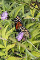 beautiful butterfly - Danaus plexippus