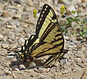 Swallowtail 5856 - Papilio canadensis