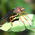 Robber Fly - Diogmites platypterus