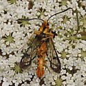 Douglas Fir Pitch Moth - Synanthedon novaroensis
