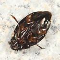 Whirligig Beetle - Dineutus emarginatus