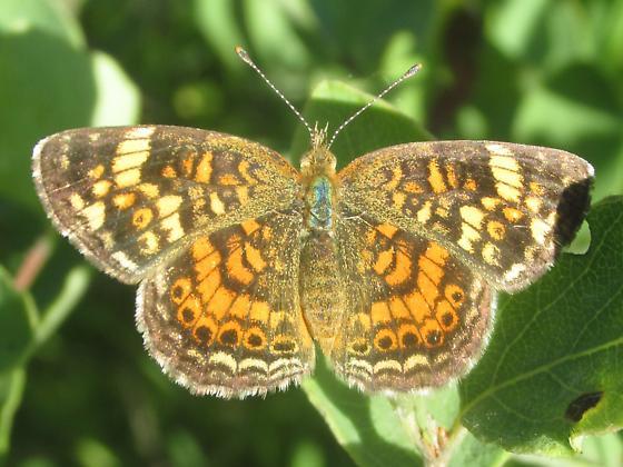 Phyciodes tharos - female