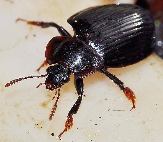 Carrion Beetle (Necrophilus hydrophiloides?) - Necrophilus hydrophiloides