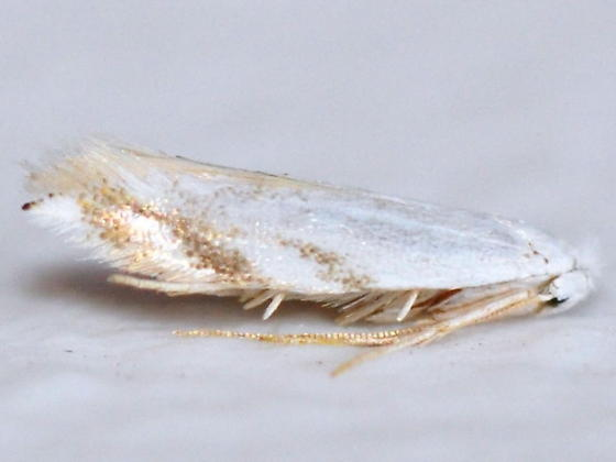 Bucculatrix inusitata, 0496 - Bucculatrix inusitata