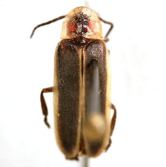 Photinus consanguineus COMPLEX - Photinus consanguineus