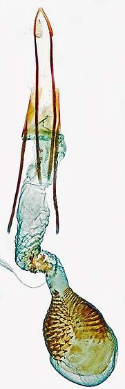 genitalia - Phycitodes reliquellum - female