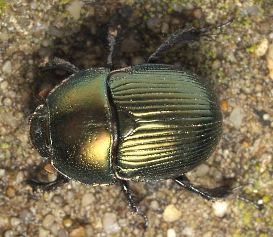 Metallic green beetle - Geotrupes splendidus