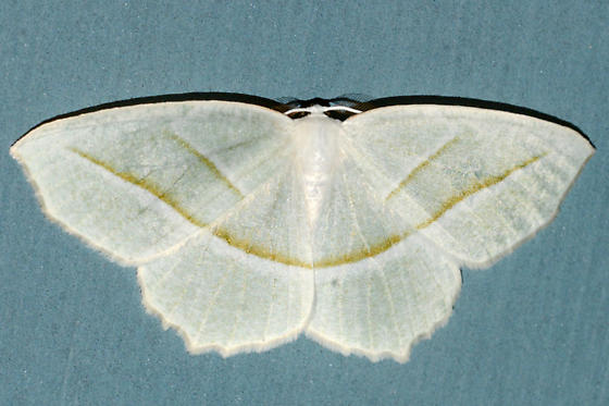Pale Beauty - Campaea perlata - male