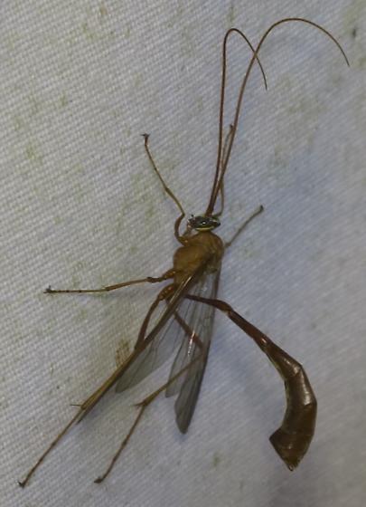 Ichneumon Wasp at moth lights  - Enicospilus