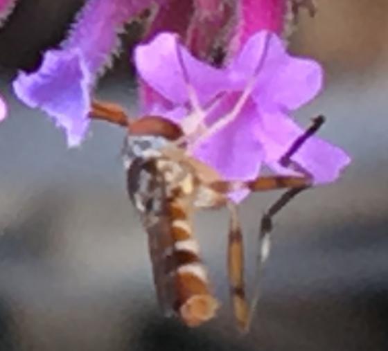 Long legged hoverfly?  - Stylogaster neglecta - male