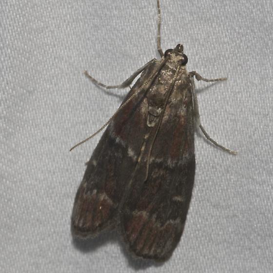Root Collar Borer - Hodges#5997 - Euzophera ostricolorella