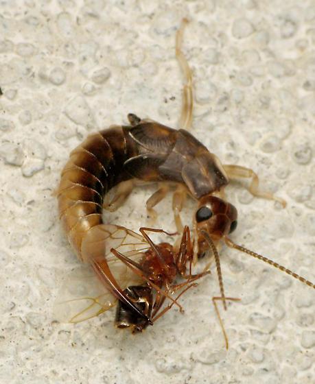 Earwig and ant - Labidura riparia - female
