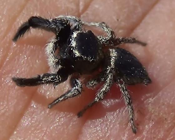 Yellow Line On My Spider = Mr. H.H. - Habronattus hirsutus - male