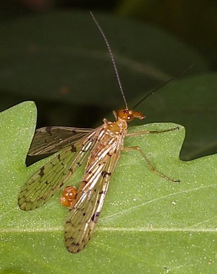 Scorpian Fly?? - Panorpa palustris - male