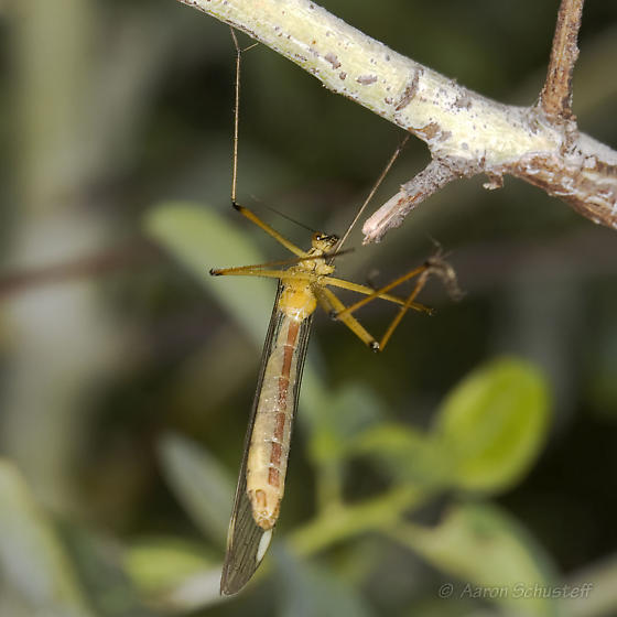 Another CA Hanging Fly - Bittacus chlorostigma - female