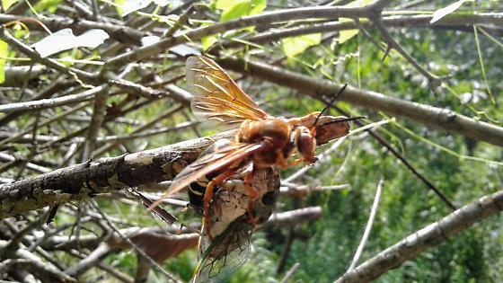 Eastern Cicada Killer with cicada - Sphecius speciosus - female