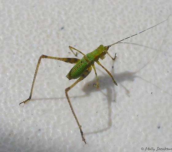 fork-tailed bush katydid? - Scudderia fasciata - male