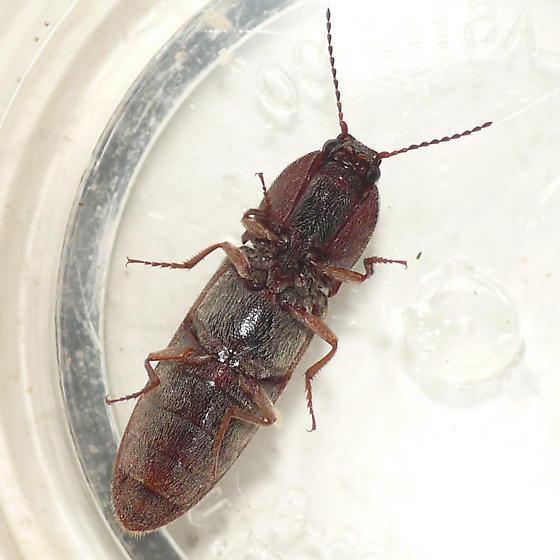 Click beetle - Gambrinus griseus