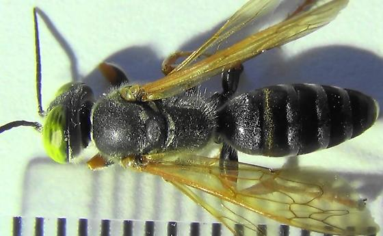 The Six Wasp Special - #3 of 6 - Tachytes distinctus - male