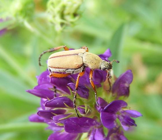 Beetle with orange legs - Macrodactylus