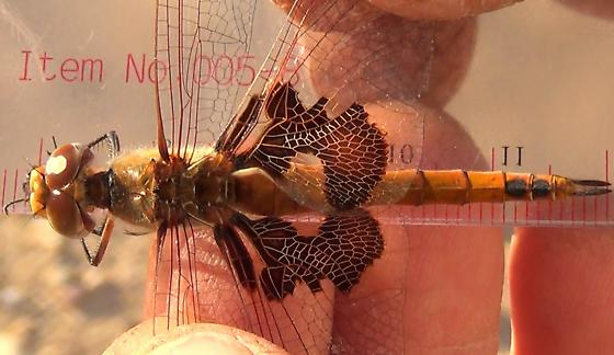 Dragonfly Body Scan - Red Saddlebags (dorsal) - Tramea onusta - female