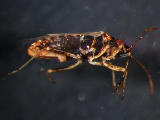 Beach Bug - Xyonysius californicus