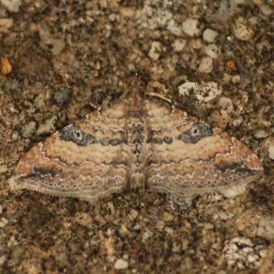 Two-headed Gem Moth - Hodges#7414 - Dorsal - Orthonama obstipata