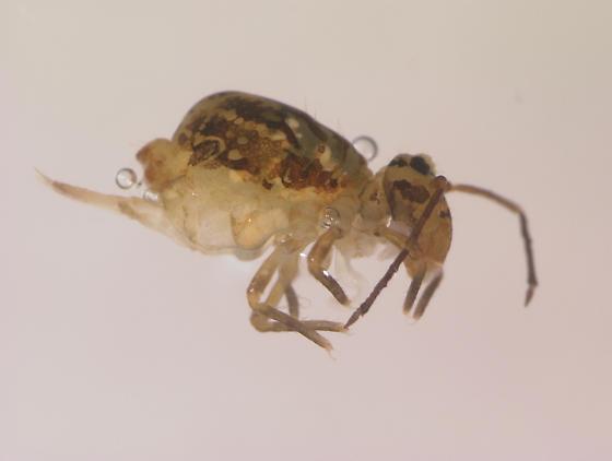Collembola dicyrtomidae ? - Dicyrtomina minuta - female