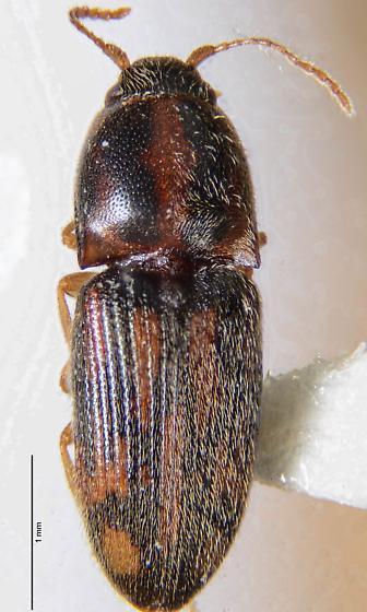 Aeolus? - Conoderus bellus