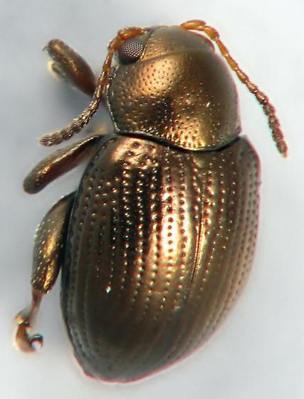 flood debris #15 - flea beetle - Chaetocnema minuta