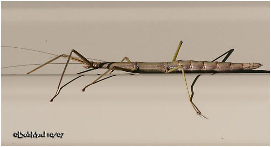 Walking Stick - Diapheromera femorata
