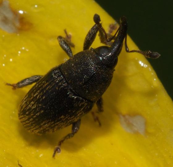 Dark brown flower weevil - Odontocorynus falsus
