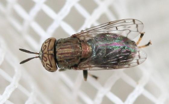 Tabanidae? - Orthonevra nitida - male