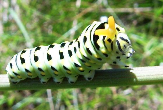 Anise Swallowtail Caterpillar - Papilio zelicaon
