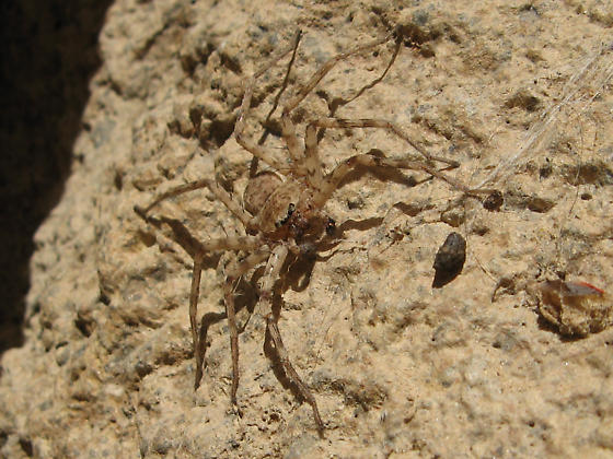 Spider ID? - Selenops