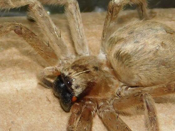Olios giganteus  - Olios giganteus - female