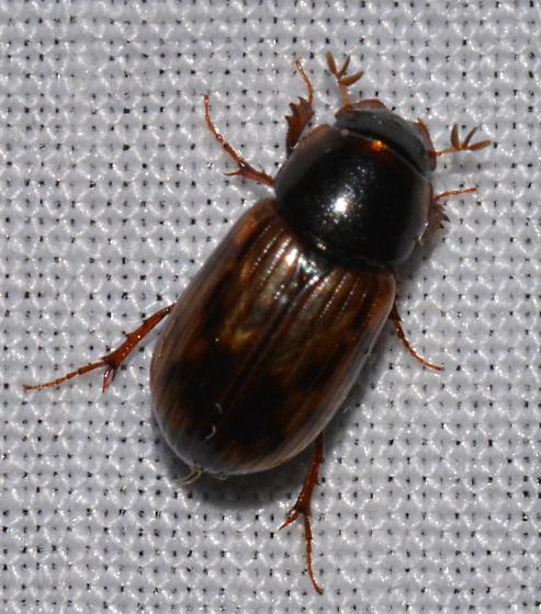 sm nocturnal beetle