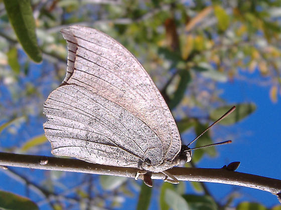 Camoflauge Butterfly - Anaea andria
