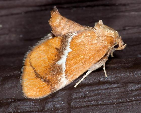 4665, Lithacodes fasciola, Yellow-shouldered Slug Moth - Lithacodes fasciola