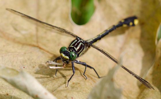 Dragonfly - Gomphurus vastus